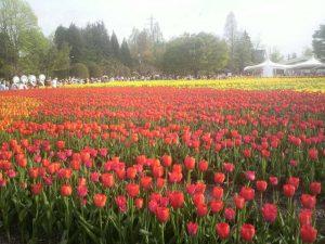 4月下旬から300万本のチューリップが彩ります