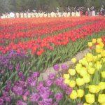 富山県・砺波チューリップ公園のチューリップです