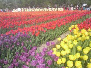 こちらは春らしく、昨年訪れた富山県・砺波チューリップ公園のチューリップです