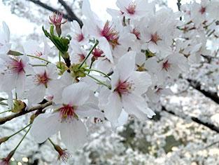 ブログ:上田城の桜が満開です。