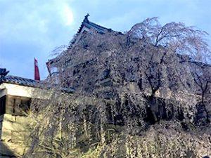 櫓門前の枝垂れ桜
