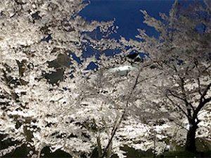 千本桜まつりのライトアップは7日から