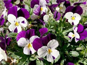我が家の花壇にも春の訪れ…ビオラ